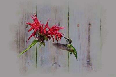 Digital Art - Ruby Throated Humming Bird Art by David Stasiak