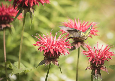 Horsemint Photograph - Ruby Throated Hummingbird 1-2015 by Thomas Young