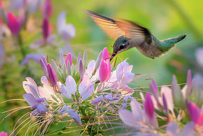 Photograph - Ruby Throated Hummingbird 1 by Bill Wakeley
