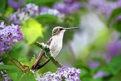 Ruby-throated Hummingbird-1 Art Print by Christina Rollo