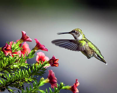 Ruby Throated Hummingbird #1 Art Print
