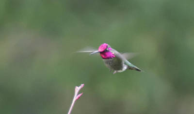 Photograph - Ruby-throated Hummingbird 2 by Marilyn Wilson