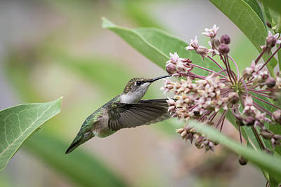 Common Milkweed Photograph - Ruby Throated Hummingbird 2016-1 by Thomas Young