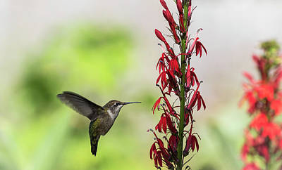 Photograph - Ruby Throated Hummingbird 2017-1 by Thomas Young