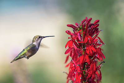Photograph - Ruby Throated Hummingbird 2017-2 by Thomas Young