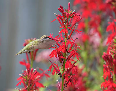 Photograph - Ruby Throated Hummingbird 2017-3 by Thomas Young