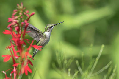 Photograph - Ruby Throated Hummingbird 2017-4 by Thomas Young