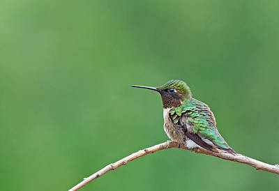 Photograph - Ruby-throated Hummingbird #3 by Jim Zablotny