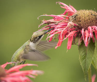 Horsemint Photograph - Ruby Throated Hummingbird 4-2015 by Thomas Young