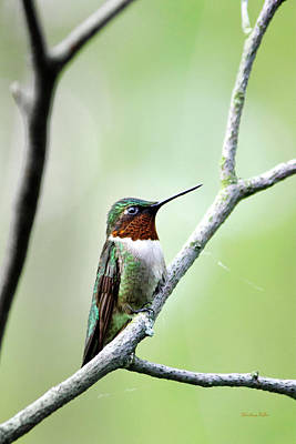 Rollos Photograph - Ruby Throated Hummingbird-5 by Christina Rollo