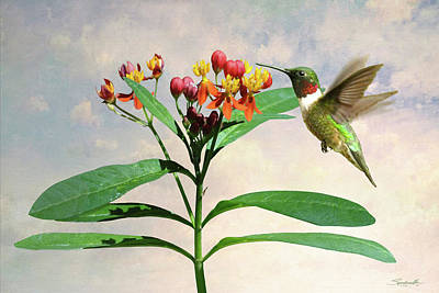Digital Art - Ruby-throated Hummingbird And Milkweed Flower by Spadecaller