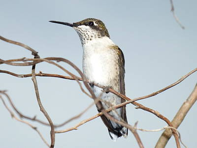 Louis Armstrong - Ruby-throated Hummingbird Sitting Pretty  by Cindy Treger