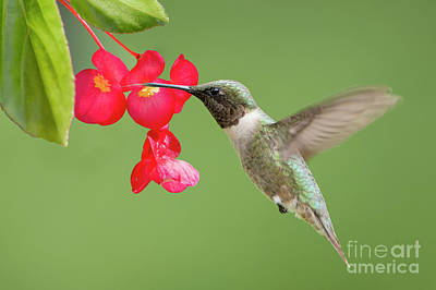 Photograph - Ruby Throated Hummingbird Feeding On Begonia by Bonnie Barry