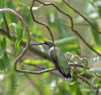 Photograph - Ruby-throated Hummingbird - Female by Bill And Deb Hayes