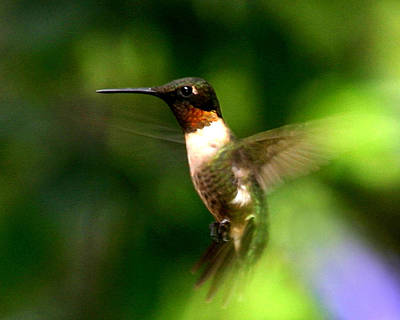 Ruby-throated Hummingbird Art Print by Fred Baird