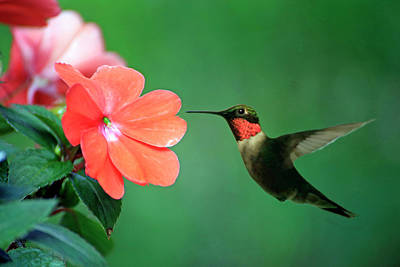 Photograph - Ruby-throated Hummingbird by Gary Corbett