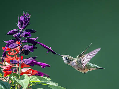 Photograph - Ruby Throated Hummingbird Hovering At Salvia Flowers by William Bitman