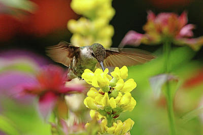 Photograph - Ruby Throated Hummingbird In Summer Garden by Debbie Oppermann