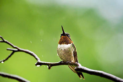 Photograph - Ruby-throated Hummingbird In The Rain by Christina Rollo