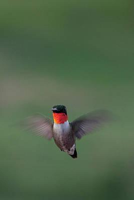 Photograph - Ruby-throated Hummingbird by Jennifer Karon