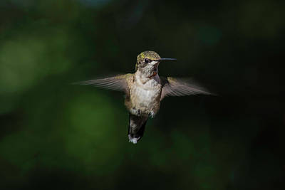 Photograph - Ruby Throated Hummingbird by Kenneth Cole