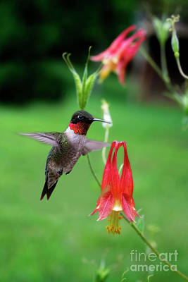 Art Print featuring the photograph Ruby-throated Hummingbird  Looking For Food by Dan Friend