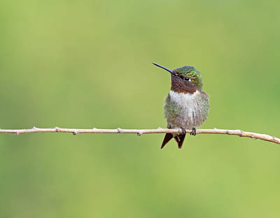 Photograph - Ruby-throated Hummingbird Male by Jim Zablotny