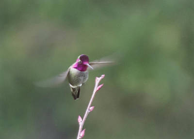 Photograph - Ruby-throated Hummingbird by Marilyn Wilson