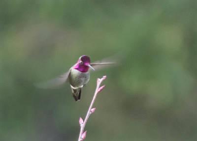 Photograph - Ruby-throated Hummingbird by Marilyn Wilson
