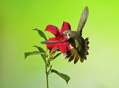 Photograph - Ruby-throated Hummingbird On Mandavilla Flower by Lara Ellis
