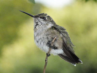 Airport Maps - Relaxing Ruby-throated Hummingbird  by Cindy Treger