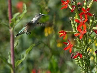 Wall Art - Photograph - Ruby-throated Hummingbird by Robert Papps