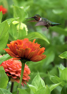 Photograph - Ruby Throated Hummingbird by Ron Grafe