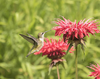 Horsemint Photograph - Ruby Throated Hummingbird by Thomas Young