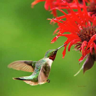 Ruby-throated Hummingbird With Red Flowers Print by Christina Rollo
