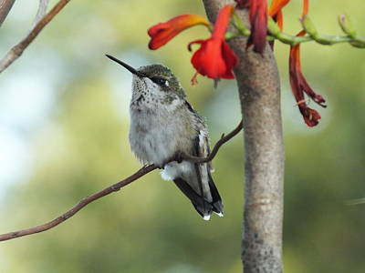 The Rolling Stones - Ruby-throated Hummingbird - Waiting by Cindy Treger