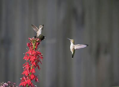 Photograph - Ruby Throated Hummingbirds 2017-1 by Thomas Young