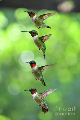 Photograph - Ruby-throated Hummingbirds Picture by Dan Friend