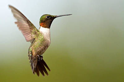 Photograph - Ruby Throated by Linda Shannon Morgan