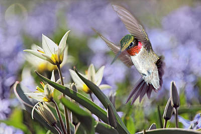 Photograph - Ruby-throated Visitor by Leda Robertson