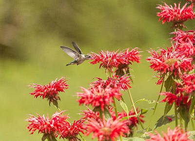 Horsemint Photograph - Rubythroated Hummingbird 2014-5 by Thomas Young