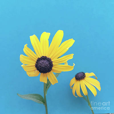 Photograph - Rudbeckia 2 by Cindy Garber Iverson