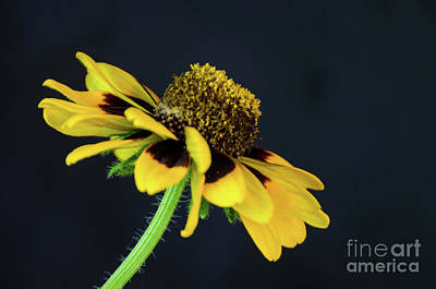 Photograph - Rudbeckia 2 by Donna Brown
