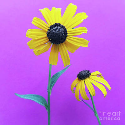 Photograph - Rudbeckia 3 by Cindy Garber Iverson