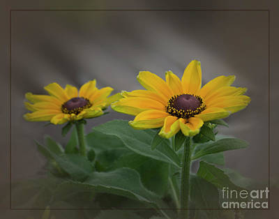 Photograph - Rudbeckia Black-eyed Susan by Mary Bellew
