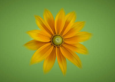 Photograph - Rudbeckia Blossom Irish Eyes - Horizontal by Patti Deters