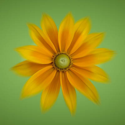 Rudbeckia Blossom Irish Eyes - Square Art Print