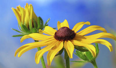 Photograph - Rudbeckia Blues by MTBobbins Photography