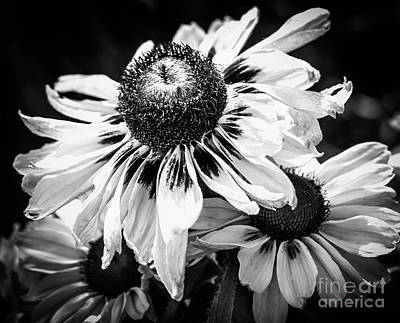 Photograph - Rudbeckia by Cathy Donohoue