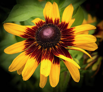 Photograph - Rudbeckia Coneflower by Venetia Featherstone-Witty